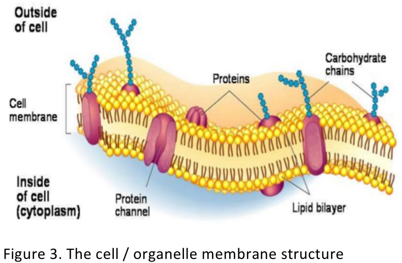 Figure 3. The cell / organelle membrane structure
